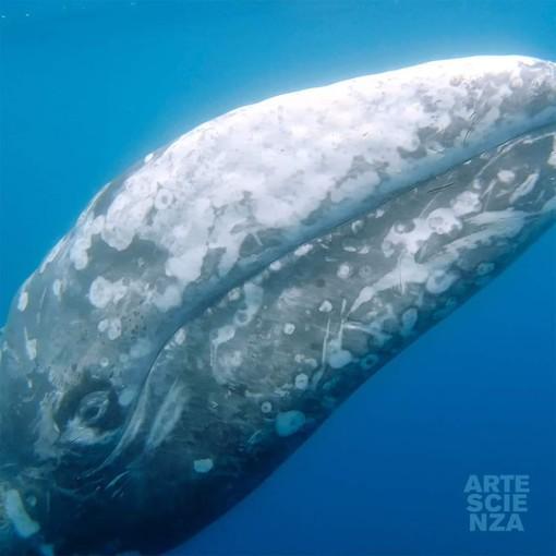 Wolly nel mar ligure, la balena grigia avvistata ieri tra Cogoleto e Vado (VIDEO e FOTO)
