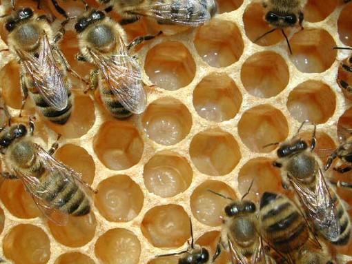 L'ape ligure allevata in Australia minacciata di distruzione per gli incendi a Kangaroo Island