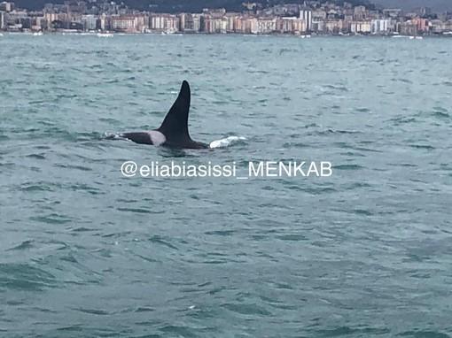 Pra': le orche si sono spostate a Vado Ligure