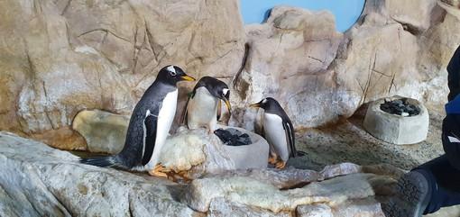 Nella vasca dei pinguini dell'acquario di Genova c'è aria di San Valentino