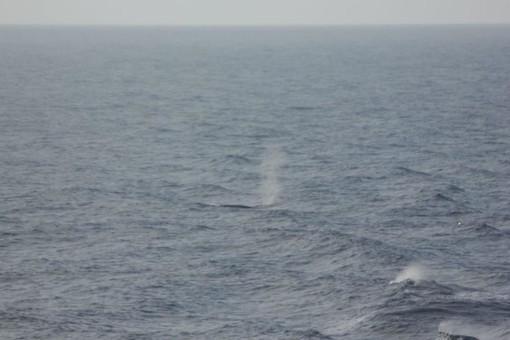 """Il caratteristico """"zampillo"""" delle balenottere fotografato durante una delle ultime uscite in mare del 19 e 20 ottobre"""