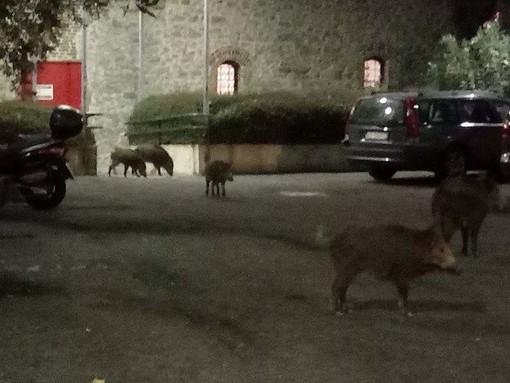Cinghiali: a spasso nel parcheggio dell'Ospedale San Martino