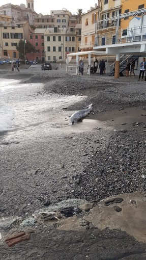 Bogliasco: delfino trovato morto sulla spiaggia