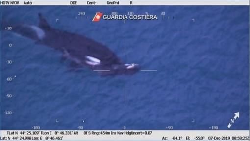Porto di Pra': mamma orca veglia il cucciolo morto