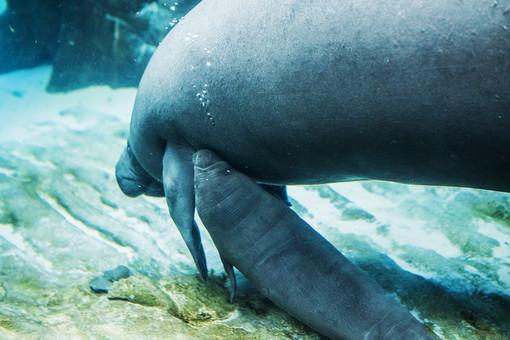 Fiocco rosa all'Acquario di Genova: è nata la cucciola di lamantino