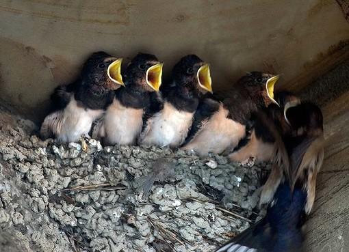 Salviamo i nidi: appello di Lipu e Liguria Birding affinché il rifacimento delle facciate non distrugga le case dei volatili (FOTO)