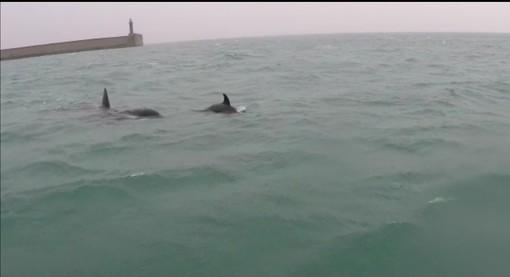 Pra': avvistate 4 orche marine in porto (VIDEO)