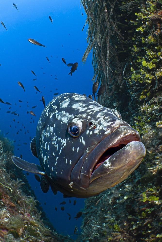 Santa Margherita: la cernia di Raho vince il premio di fotografia subacquea