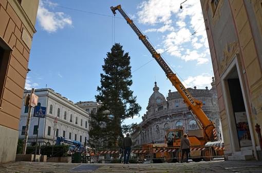 Natale 2019: è arrivato a De Ferrari l'albero dalla Val d'Aveto