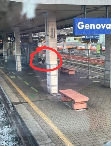 Genova, cinghiali al binario della stazione di Brignole. Aspettano il treno?