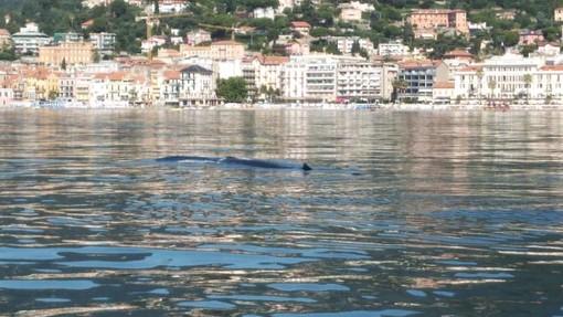 La balenottera Codamozza continua il suo viaggio nel Mar Ligure: affascina Alassio e fa rotta verso l'imperiese (VIDEO)