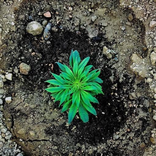 """Pastorino sulla cannabis terapeutica: """"La Lega si ravvede sull'importanza delle cure, ma in consiglio boccia le nostre proposte"""""""