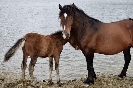 Cavalli bradi del parco dell'Aveto, siglata convenzione tra Izts e Ministero della Salute