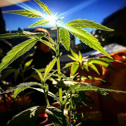 Cannabis terapeutica, Genova: la solidarietà di InFioreScienza a Bertolotto