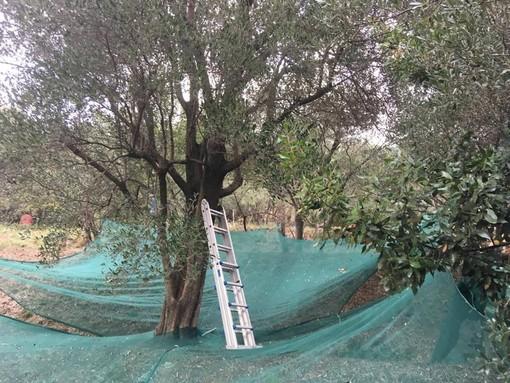 """Mai sulla Xylella: """"Non si dovranno etichettare tutti i vasi, in Liguria patogeno assente"""""""