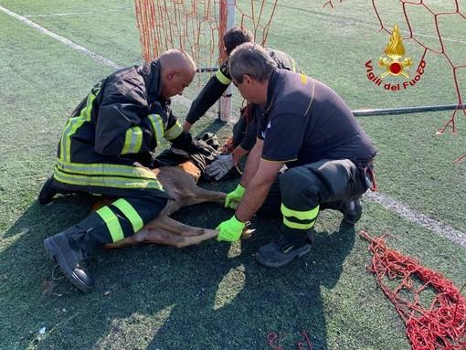 I pompieri liberano due caprioli intrappolati nella rete del campo da calcio Morgavi