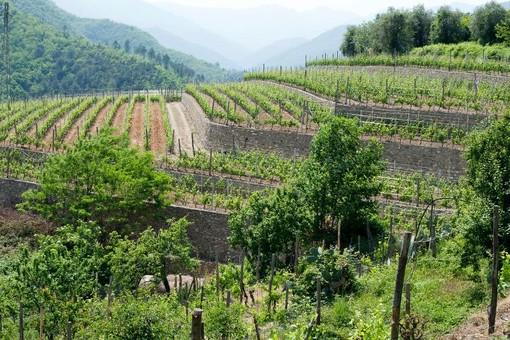 Vigneti, la Giunta regionale approva novantamila euro di aiuti per ristrutturazione e riconversione